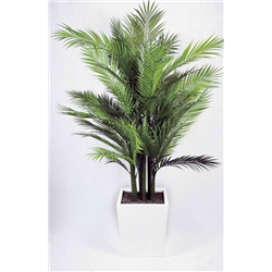 ARECA PALM VIRIDIUM